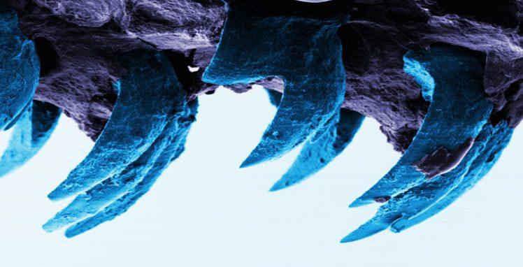 أسنان قواقع حلزون البحر أقوى مواد الطبيعة على الإطلاق