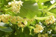 الزيزفون عبق العطر والشذى والزينة والإنعاش