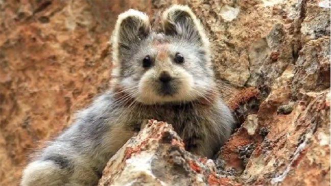 """""""وايلي بيكا"""" الجذاب شبيه الأرنب على وشك الانقراض"""