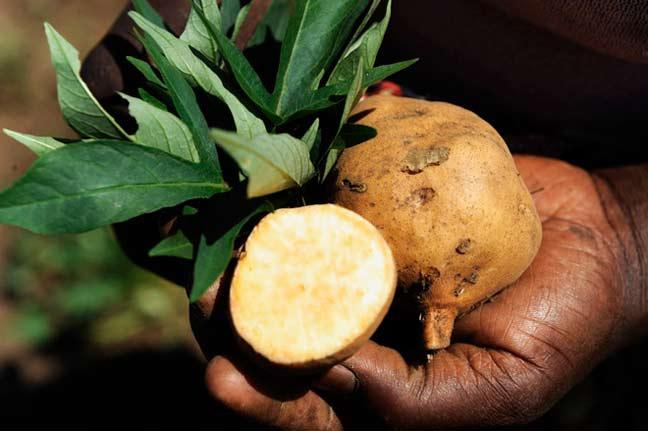 البطاطا الأفريقية تحمي من الإيدز والسرطان