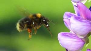 احتمال اختفاء النحلة الطنانة من وجه الأرض