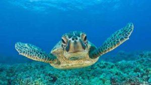 يُعتقد أن السلاحف تستخدم بوصلة مغناطيسية داخلية لتجد طريق العودة إلى موطنها في الشواطيء التي فقست فيه بيضها
