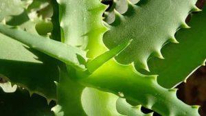علماء يعددون 10 نبتات منزلية تؤثر سلبا على صحة الإنسان