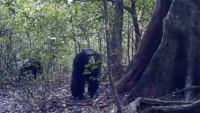العلماء يكتشفون أن قرود الشمبانزي تمارس طقوسا تعبدية