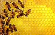 حل لغز تكاثر النحل بدون مشاركة الذكور