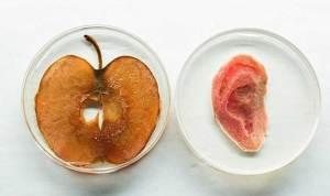 عالم كندي يجعل من التفاح أذنا بشرية