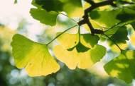 العشبة الطبية Ginkgo biloba