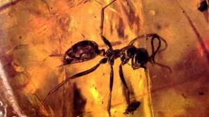 نملة عمرها 99 مليون عام تكتشف في كهرمان