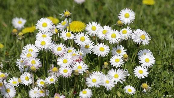 أزهار البليس