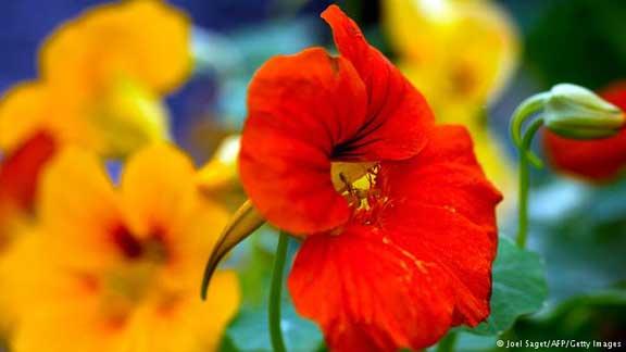 زهرة الكبوسين