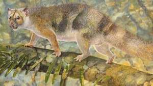 العثور على بقايا أسد جرابي في أستراليا