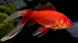 علماء يكتشفون لغزا مخيفا لدى أسماك الزينة
