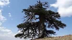 اكتشاف أقدم شجرة في أوروبا عمرها 1075 عاما