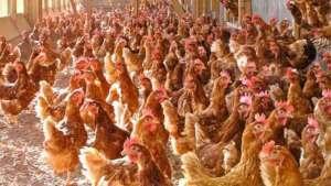 إعدام آلاف الدجاج في توغو للحد من تفشي إنفلونزا الطيور