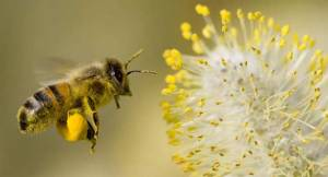 مشروب مغذ يزيد طاقة نحل العسل
