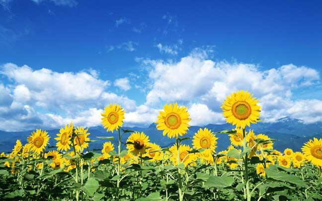 لماذا يدور عبّاد الشمس مع معبودته؟