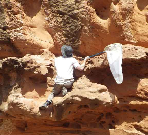 نحل الصحراء يبني بيوته في الصخور