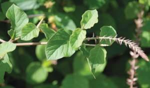 نبات أم ضريس يعالج أمراض الجهاز التنفسي