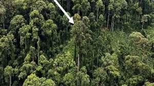 اكتشاف أطول شجرة استوائية في العالم