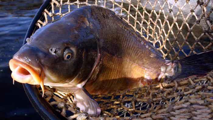 دراسة: الزئبق سم يتسلل إلى الإنسان عبر طبق الأسماك
