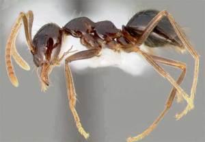 اكتشاف أنواع جديدة من النمل قد تغزو العالم
