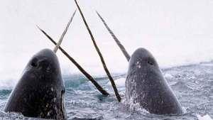 """العلماء يكشفون سر """"قرن"""" حيتان كركدن البحر"""