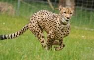 أسرع حيوانات الأرض على حافة الانقراض