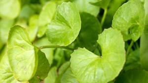نبات الجوت كولا يعالج الحمى ونزلات البرد