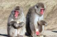 """اليابان تعدم 57 قردا تحمل """"جينات غازية غريبة"""""""