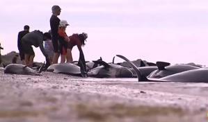 محاولات يائسة لإنقاذ مئات الدلافين على شواطئ نيوزلندا