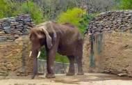 الفيلة الجائعة روبيرتا تصبح رمزا للأزمة الاقتصادية في فنزويلا
