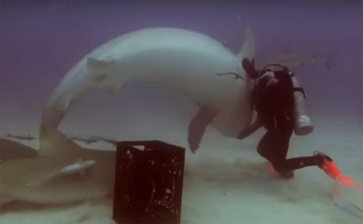لماذا تصرف هذا القرش العملاق هكذا ؟!