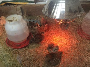 Some new additions to the henhouse. Paula told me these chicks are 2 weeks old. She had them in a warm room.