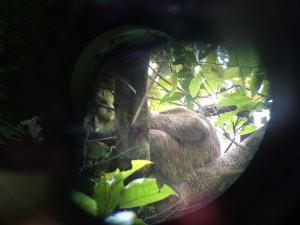 Our first glimpse of a Three-Toed Sloth doing what they do best - hanging out.