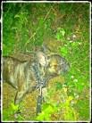 Rock(ster) the Green Machine - My loving French Bulldog