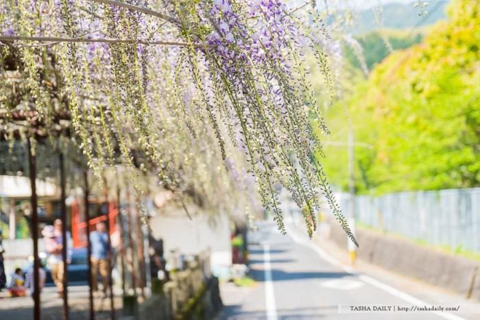 長崎、佐世保自由行丨藤山神社.慢步在藤花初開的芬芳幻麗