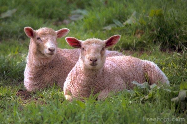 01_16_5-sheep_web