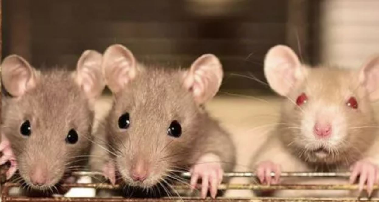 Hantavirus Kill People In China need to know: NOT Panic About it ...
