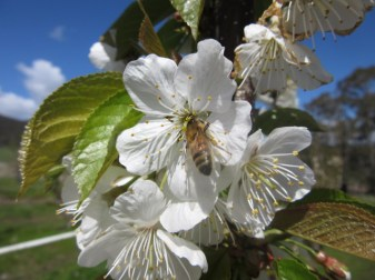 Cherry blossom time! The bees love it too!