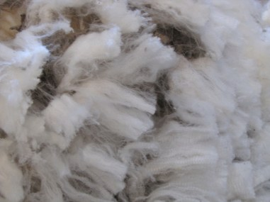 Freshly shorn merino wool