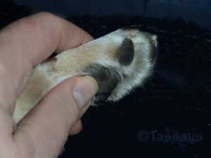 Koiran tassuissa on vyöhuketerapeuttisia heijastepisteitä