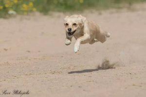 Rescue Pipa kävi viimeksi tänä kesänä ratakisoissa ja juoksi jälleen, lähes 10-vuotiaana, hyvän tuloksen. Kuva: Suvi Ylikojola