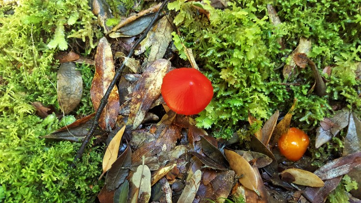 Red & Orange Fungus