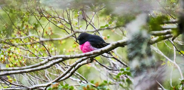 Pink Finch