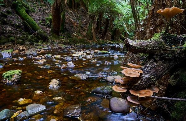 Eagle Hill Creek Armillaria novae zelandiae 1 1 1 - Keith River Road Waterfalls.