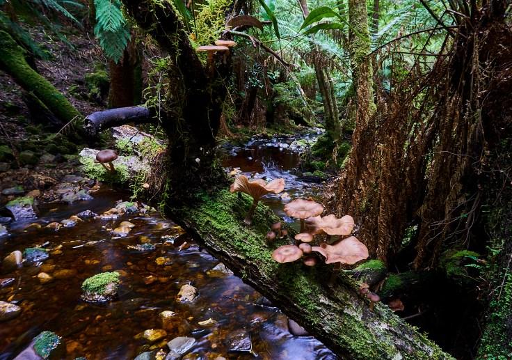 Eagle Hill Creek Armillaria novae-zelandiae 1