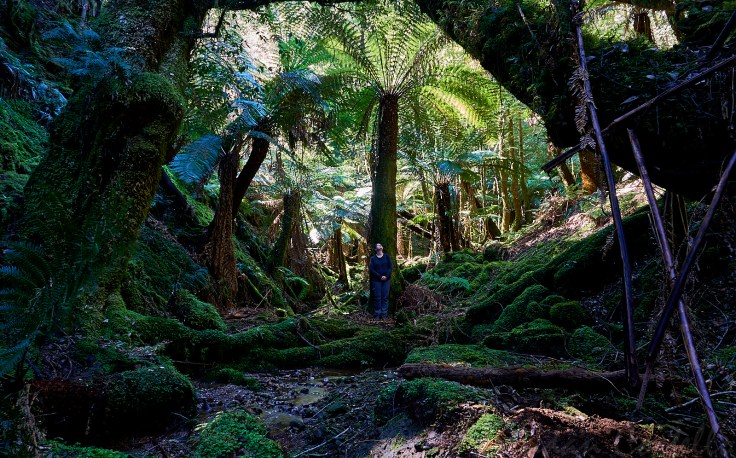 Massive tree ferns 1