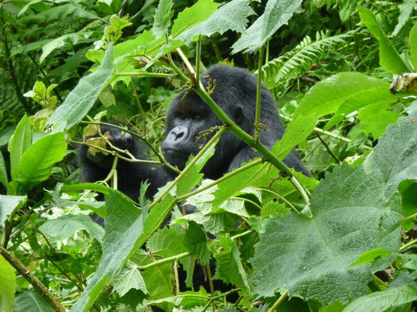 Mountain Gorillas | Taste and Tipple