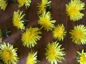 Yellow, shaggy dandelions