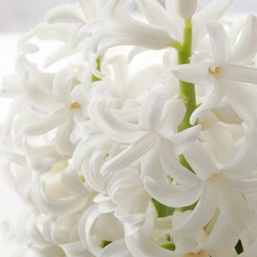 Hyazinthe weiß Frühlingsblume Makro Fotografie Tasteboykott